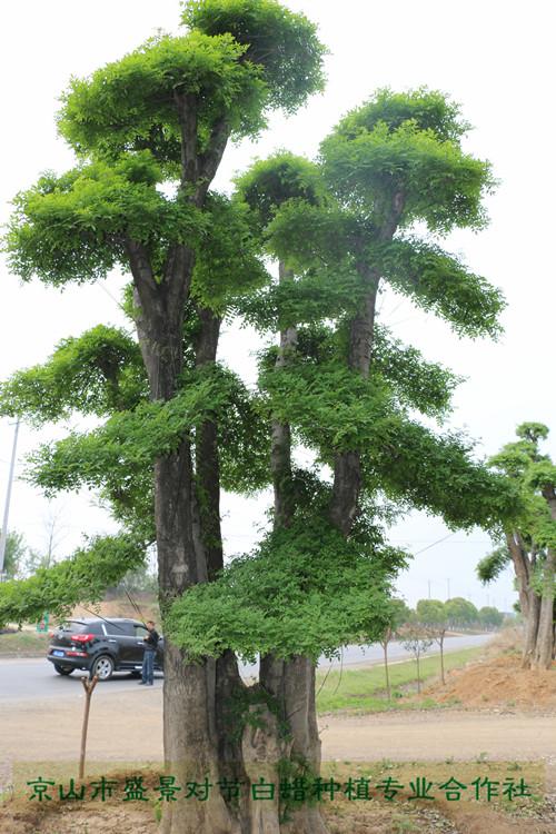 对节白蜡造型古树