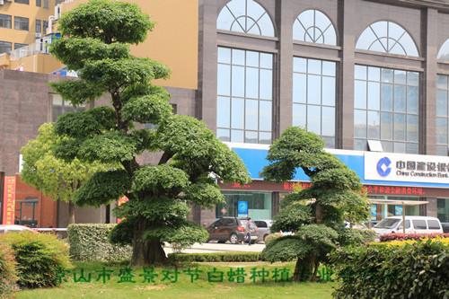 对节白蜡造型树应用