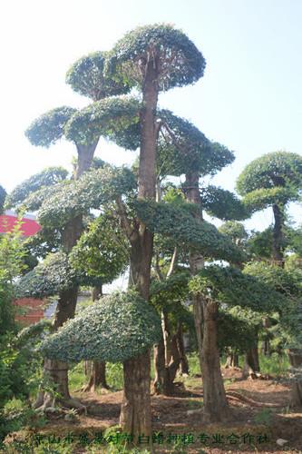 对节白蜡造型树