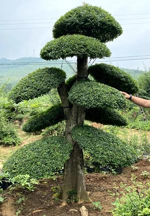 高度2米5对节白蜡造型树