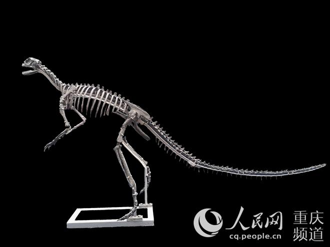 云阳现亚洲.早新鸟臀类恐龙化石 距今1.7亿万年