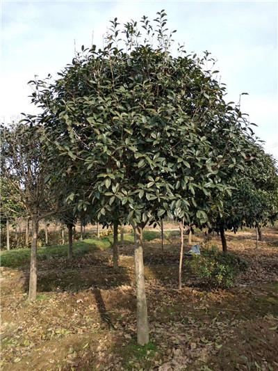 河南桂花种植基地