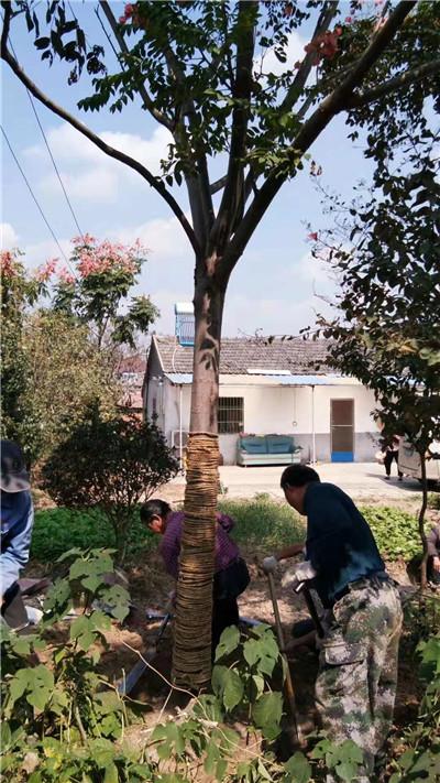 河南广玉兰种植基地合作案例