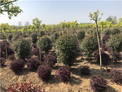 河南桂花种植厂家