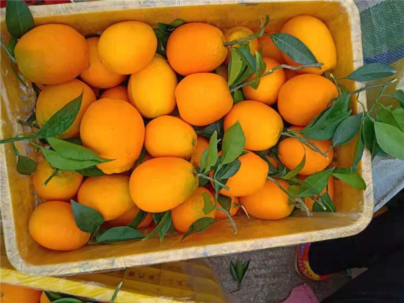 秭归脐橙采收