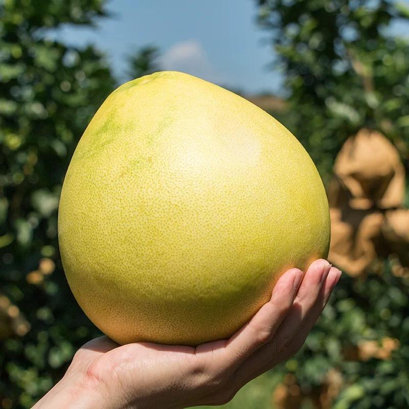 宜昌柚子种植