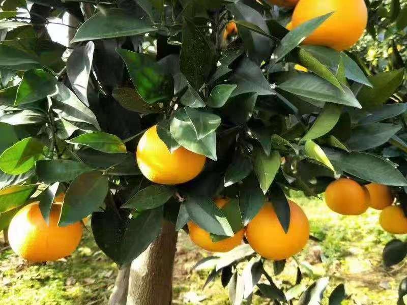 秭归脐橙种植