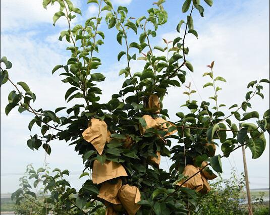 孝感金果苗如何种植?