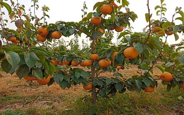 金果梨要怎么种植,种植金果梨有哪些小技巧呢?