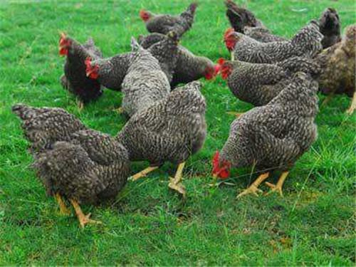 新疆黑芦花鸡养殖