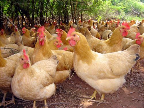阔克兰老母鸡养殖场