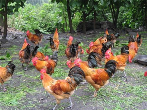 土鸡养殖基地