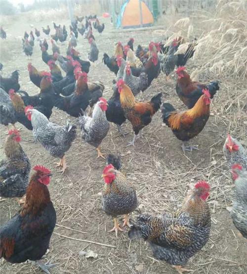 芦花鸡养殖基地