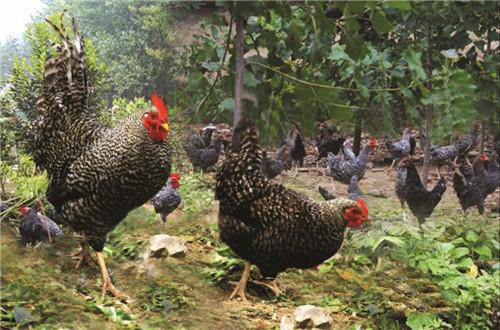 新疆芦花鸡养殖基地