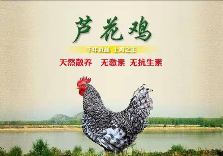 天然芦花鸡