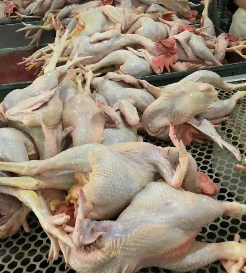 芦花鸡肉现场宰割