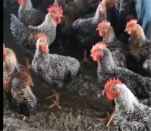 芦花鸡养殖视频