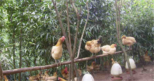 养土鸡,如何建立自己的销售渠道