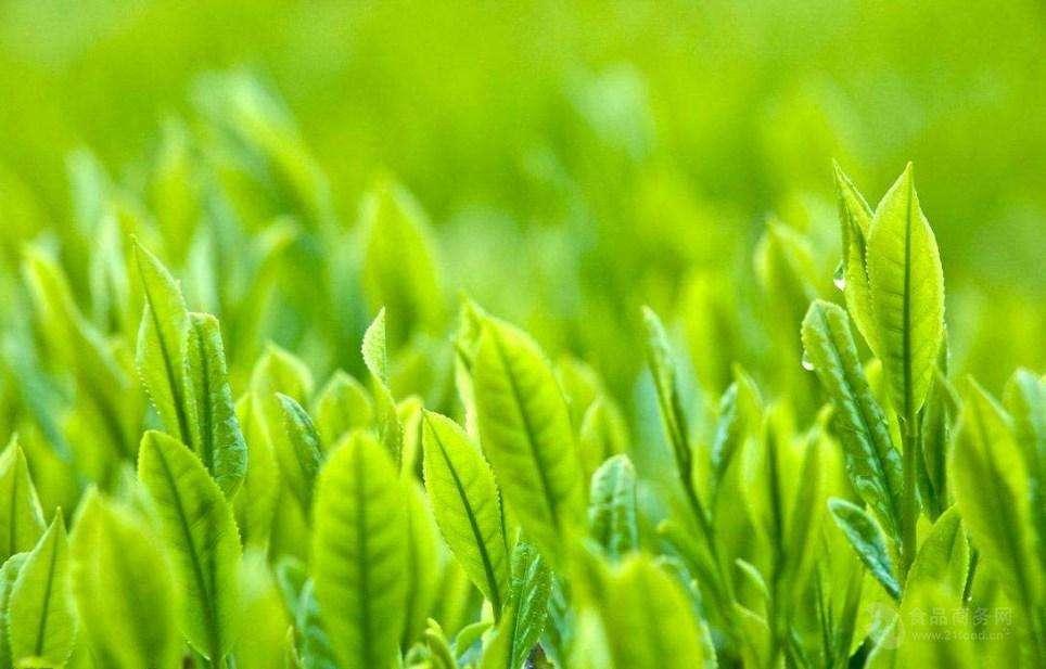 陕西绿茶提取物
