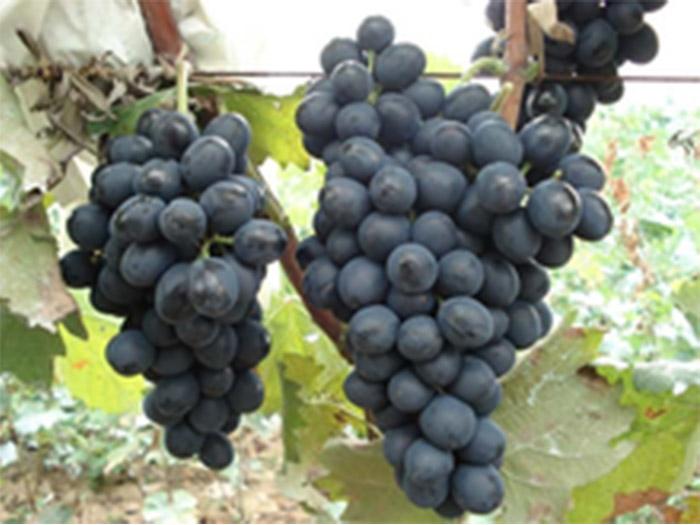 宁夏葡萄种植基地