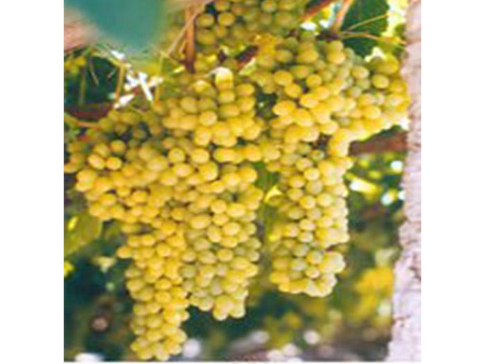 无核白葡萄