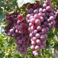 宁夏葡萄种植技术