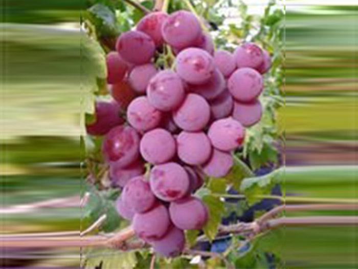 宁夏葡萄种植