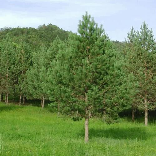 陕西油松种植