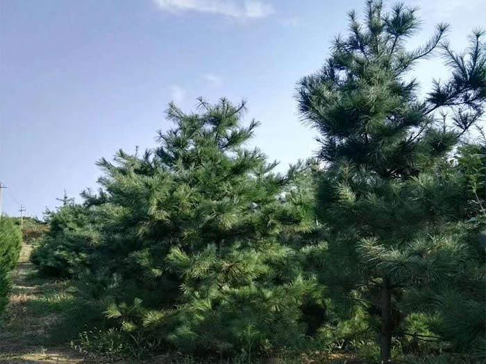 华山松生长习性