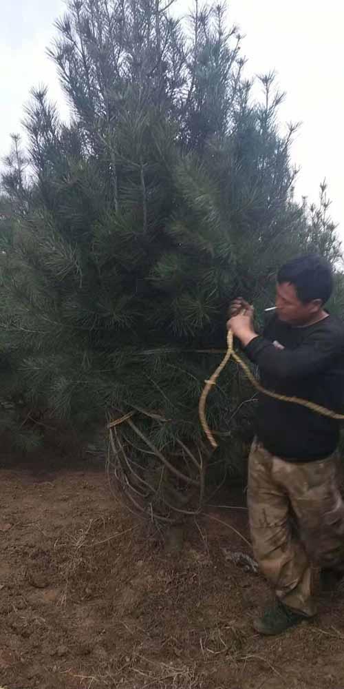 蓝田县盛世园林苗圃陕西西安白皮松 3米一级白皮松140棵发往北京通州