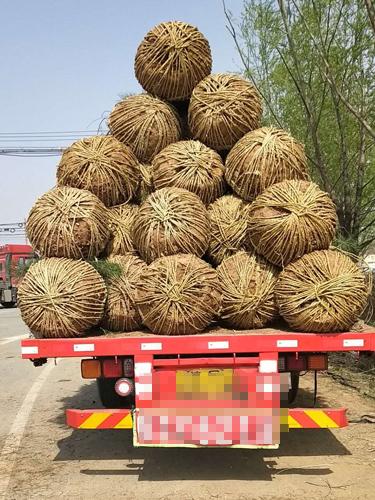 3.5白皮松一级树120棵发往北京通州