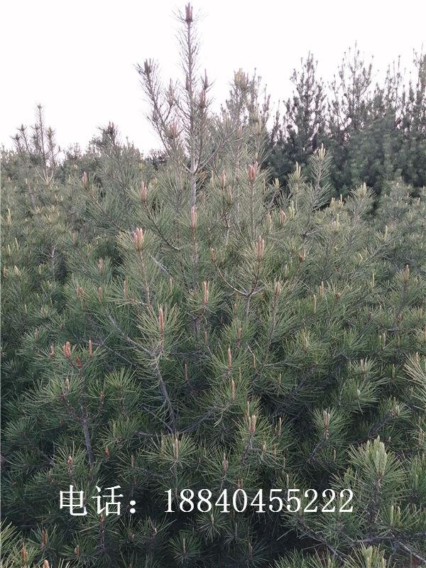 白皮松苗木对环境改善有什么影响?