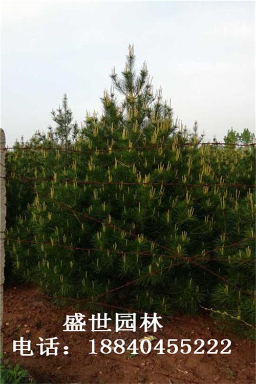 浅谈白皮松在建设中的种植艺术及养护管理