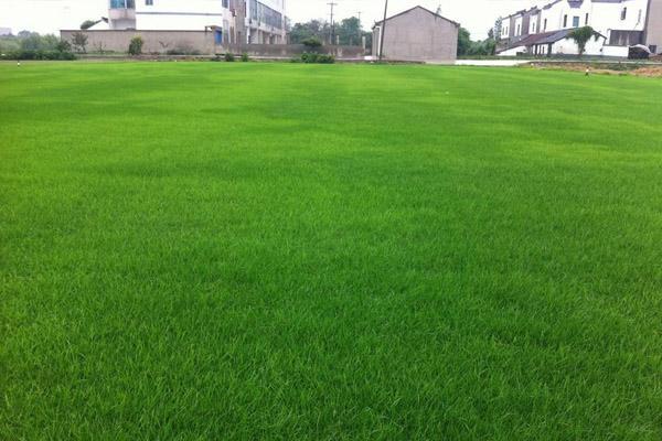 云南台湾二号草坪生产