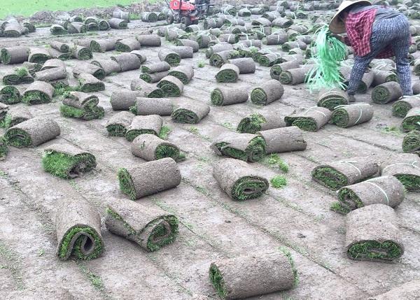 云南混播草坪基地