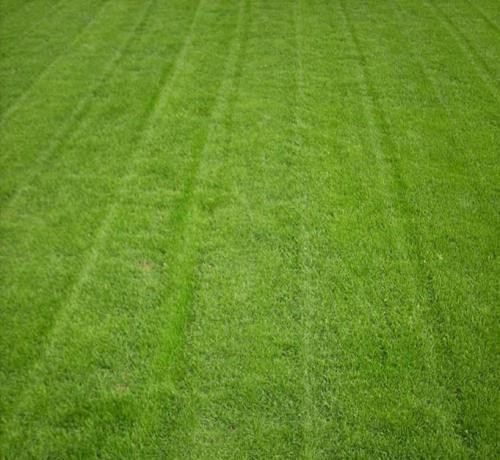 天鹅绒草坪基地