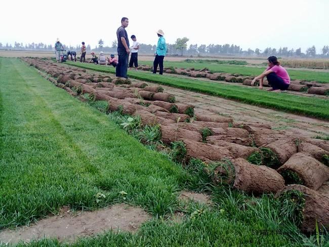 云南绿化草坪销售基地