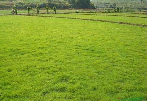 云南混播草坪生产
