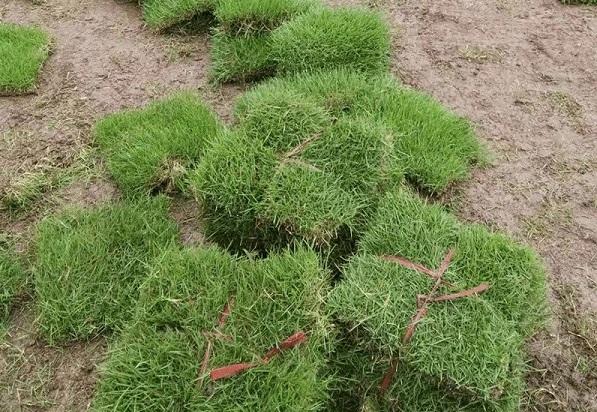 云南绿化草坪生产基地