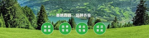 云南大叶油草坪生产