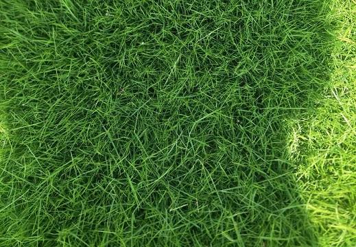 芒市台湾二号草坪