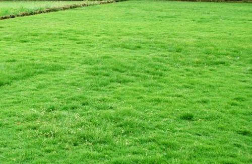 云南天鹅绒草坪