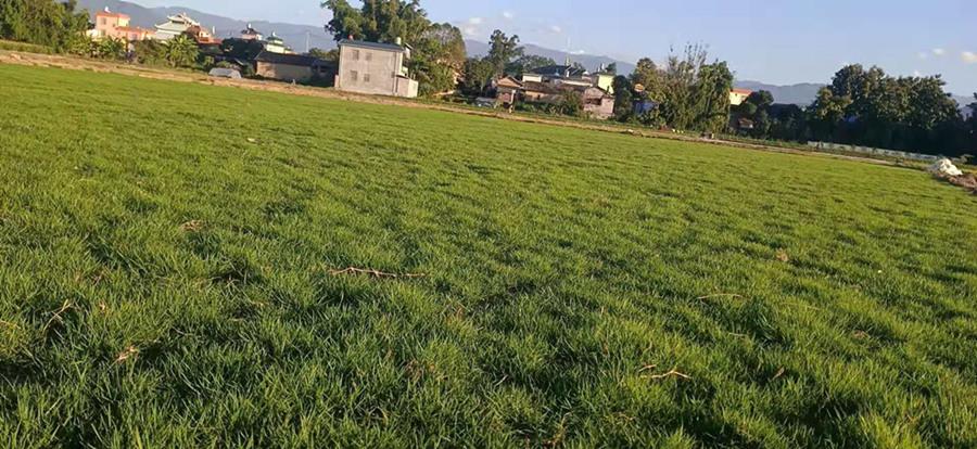 .云南马尼拉草坪