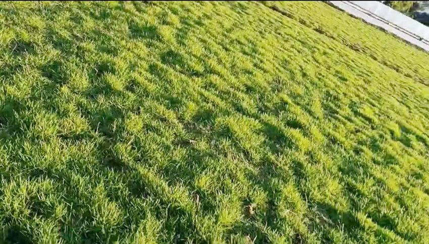 云南马尼拉草坪生产