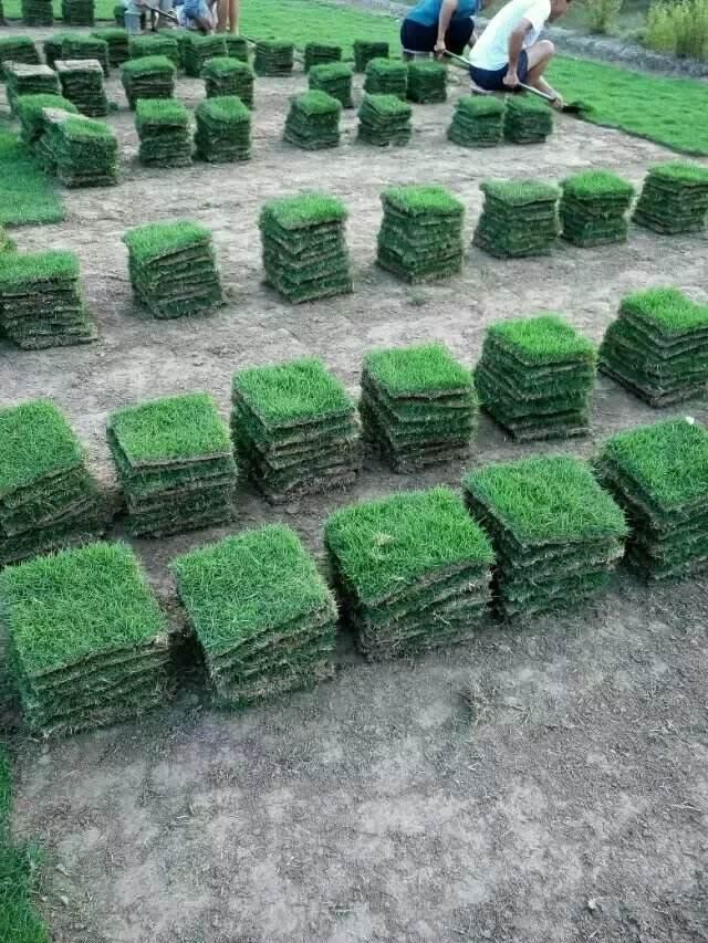 云南台湾2号草坪