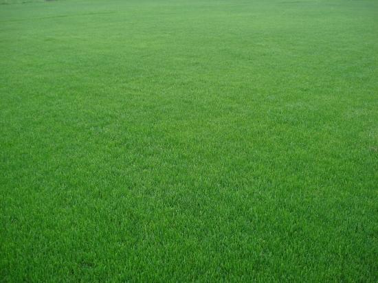 大理天鹅绒草坪