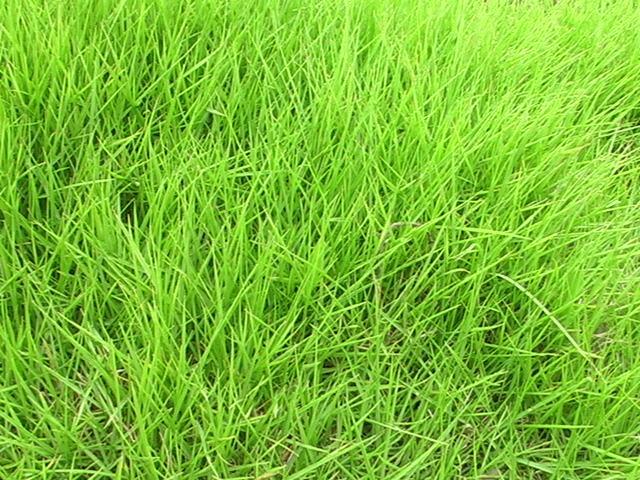 为什么云南混播草坪夏季不如冬季茂盛?