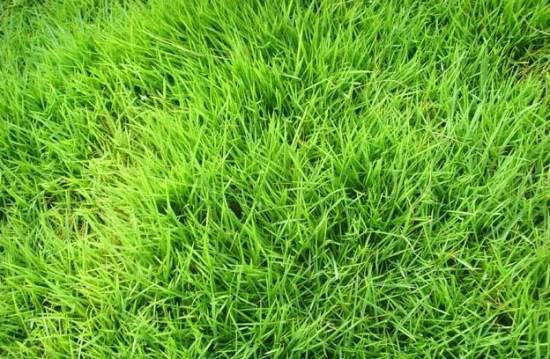 当雨季来时,云南台湾二号草坪厂家渝宏教你做好苗圃防涝工作