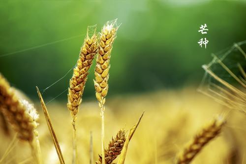 今日芒种:栀子花开,麦黄梅熟,仲夏开始
