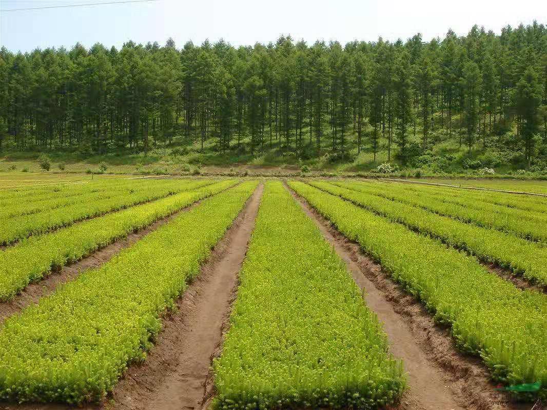 陕西园林苗木